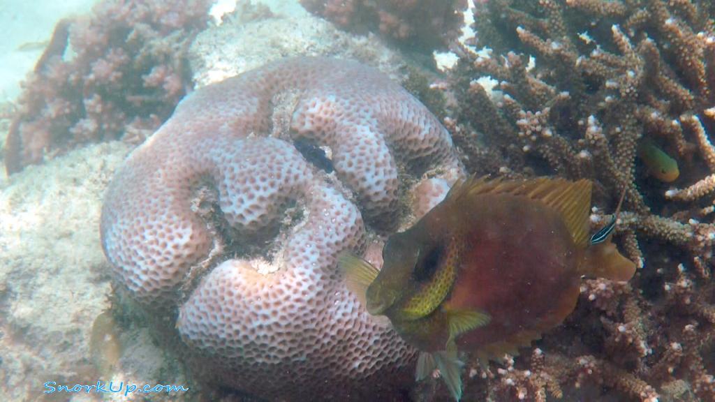 Коралловый сиган —  Siganus corallinus —  Blue-spotted spinefoot